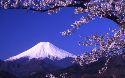 Cherry blossom tree and Fuji