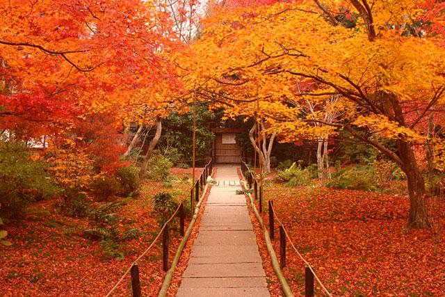 Autumn Momiji Leaves