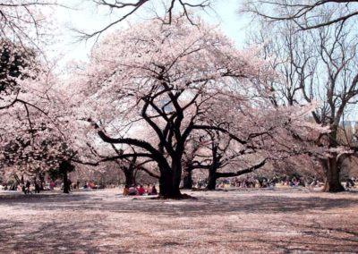 Hanami in primavera